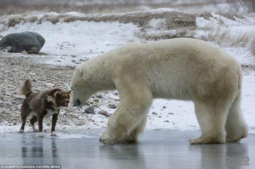 Пес vs белый медведь